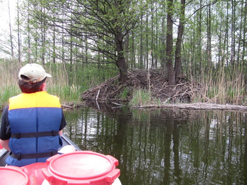 Enorme beverburcht langs de Czarna Hancza in het Wigry Nationaal park in Noordoost Polen